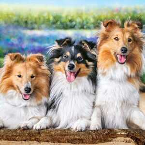 Shelties in the Lavender Garden - Puzzle - 200 Teile